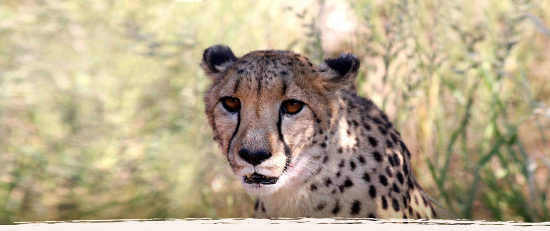 Jagd und Gästefarm Okosongoro Namibia - Geparden